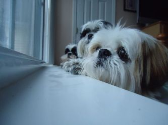 eyes-dogs-pics-window
